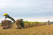 Cutting and harvesting sugar cane in the Fall at plantation along the Mississippi at Baldwin, Louisiana, USA