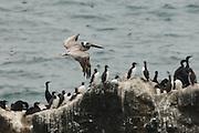 USA, Oregon, Newport, Yaquina Head, Brown Pelicans (Pelecanus occidentalis) in flight over mesting colony of Common Mruue (Uria aalge) and Brandt's Cormorant (Phalacrocorax penicillatus)