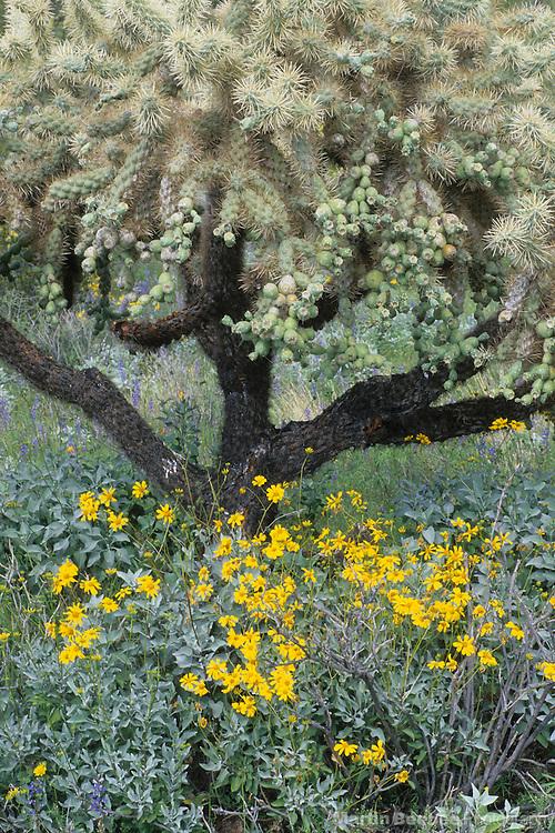 Brittlebush (Encelia farinosa) and chainfuit cholla (Opuntia fulgida), Organ Pipe Cactus National Monument, Arizona