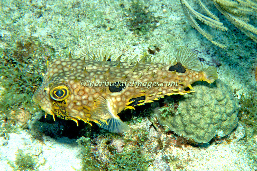 Web Burrfish inhabit reefs and adjacent areas of sand and rubble in Tropical West Atlantic; picture taken  Roatan, Honduras.