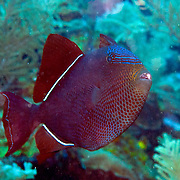 Black Durgon inhabit outer reefs, often in small aggregations in Tropical West Atlantic; picture taken Roatan, Honduras.