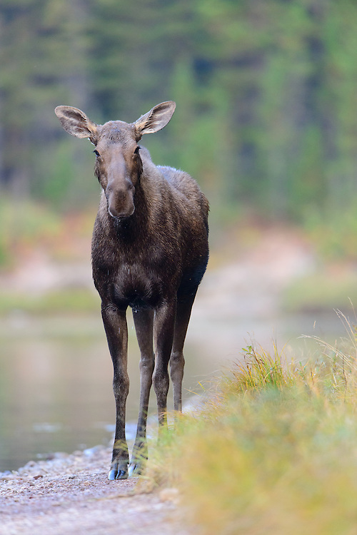 Cow Moose (Alces alces), Northern Rockies