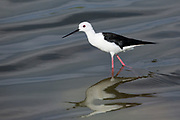 Black-winged stilt (Himantopus himantopus) feeding by water. The black-winged stilt is a widely distributed very long-legged wader in the avocet and stilt family (Recurvirostridae). Photographed in Israel