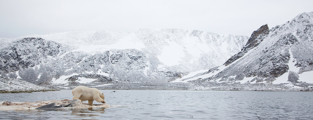 Polar bear (Ursus maritimus) feeding on dead whale, Svalbard, Norway.