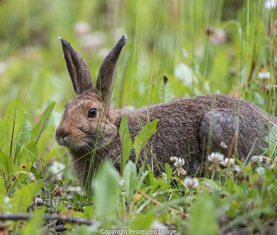 Snowshoe Hare. (Lepus americanus), Alberta, Canada, Isobel Springett