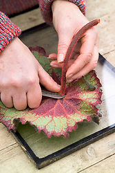 Taking leaf cuttings from a begonia using the leaf square method<br /> Removing stem