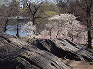 Rocks and blossoms overlooking Bethesda Terrace and The Boathouse along The Lake in Central Park