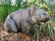 A Common Wombat (Vombatus ursinus) is shown at Bonorong Wildlife Park, Briggs Road, Brighton, Tasmania, Australia. Wombats are burrowing grass eaters, and can be thought of as the marsupial ecological equivalent of a bear. Wombats are found in forested, mountainous, and heathland areas of southeast Australia including Tasmania, plus an isolated group in Epping Forest National Park in central Queensland. The three living species of wombats are marsupial mammals in the Vombatidae family. They dig extensive burrow systems with rodent-like front teeth and powerful claws. Their unusual backwards-facing pouch avoids gathering dirt onto its young. Although mainly crepuscular and nocturnal, wombats also venture out to feed on cool or overcast days. Wombats are herbivores, mostly eating grasses, sedges, herbs, bark and roots.