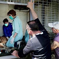Frankrijk Lieusaint,21 mei 2015.<br /> Stichting AAP die zich inzet voor opvang en welzijn van verwaarloosde dieren waaronder diverse apensoorten haalt nu verwaarloosde 2 tijgers en 2 leeuwen op bij een failliete circus in het plaatsje Lieusaint in de buurt van Parijs om ze vervolgens een betere toekomst te geven in opvangcentrum Primadomus in de buurt van Alicante Spanje<br /> Op de foto: 1 van de tijgers kwam na verdoving alvorens te worden getransporteerd naar dierenopvang Primadomus in Spanje bijna niet meer bij bewustzijn.<br /> Op de foto: De tijger die na verdoving een hartstilstand heeft gekregen wordt geranimeerd. De vorige eigenaren vader en zoon Bouillon kijken gespannen toe.<br /> <br /> <br /> <br /> Foto: Jean-Pierre Jans