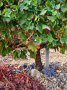 Rains near harvest in Priorat