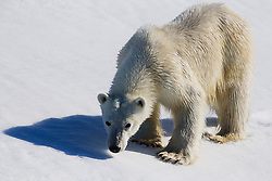 A  close-up portrait of a polar bear (Ursus maritimus) standing on the snow looking up ,Svalbard, Norway