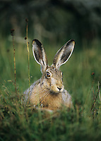 Hare sitting on grass