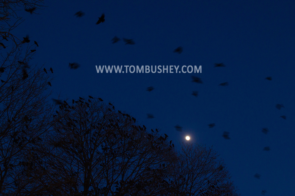 Crows perch in the trees and fly through the air as the waxing gibbous moon rises in the background in Middletown, New York. Thousands of crows gather each evening in Middletown to  roost during the winter.