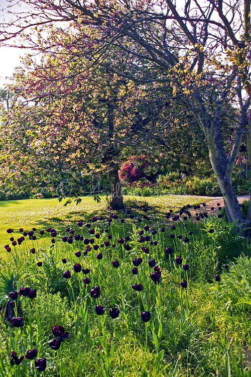 Tulipa 'Queen of the Night', dark maroon tulips mass planted beneath Prunus sp (Flowering cherry) trees in pink blossom. Lawn with borders in background. Denmans Garden, Chichester, West Sussex. Design by John Brookes