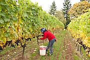 Harvest 2010 at Anam Cara Vineyards, Chehalem Mountains, Newberg, Oregon