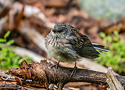 """A little brown bird, seen on the hike to Photographer's Point, Wind River Range, Bridger-Teton National Forest, Rocky Mountains, Wyoming, USA. The Continental Divide follows the crest of the """"Winds""""."""