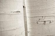 closeup of aspen tree trunks above Guardsman Pass, Park City, Utah