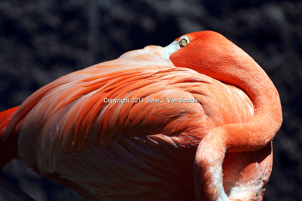 A Flamingo, Phoenicopterus ruber, resting with its beak buried in its feathers. Cape May County Zoo, Cape May Courthouse, New Jersey, USA.