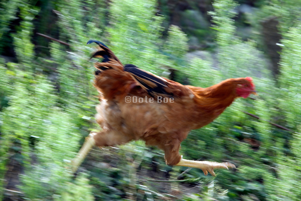 big brown chicken running outdoors