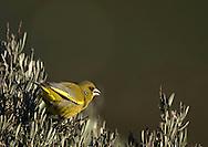 European Greenfinch feeding in Ria Formosa Natural Park - Algarve, Portugal