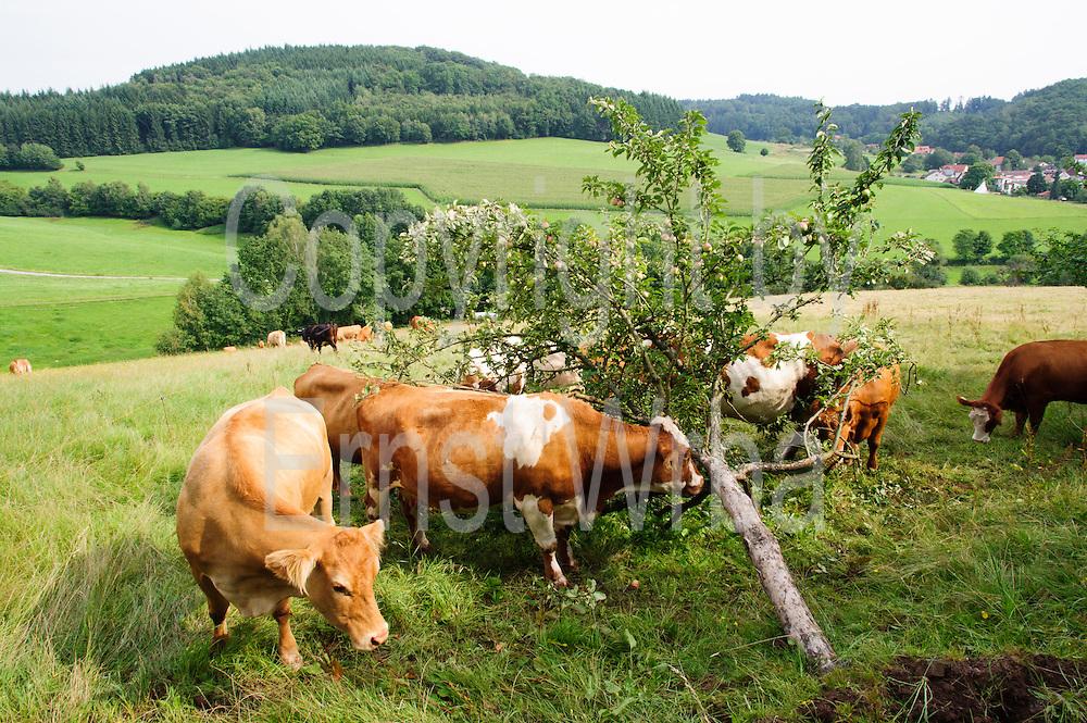 Kühe und umgestürzter Apfelbaum bei Wald-Michelbach, Odenwald, Hessen, Deutschland | Kühe und umgestürzter Apfelbaum bei Wald-Michelbach, Odenwald, Hessen, Deutschland