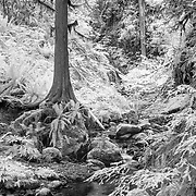 Lower Barnes Creek - Olympic National Park - Infrared Black & White