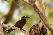 Lesser noddy (Anous tenuirostris), Photographed on Bird Island, Seychelles in September