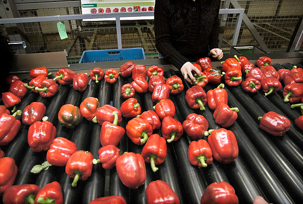 Nederland, Bemmel, 10-12-2011Bergerden, Huissen. Hier zijn een tiental grote, nieuwe, hypermoderne tuinbouwbedrijven in bedrijf.Verregaand geautomatiseerd, deels biologisch en energie zuinig. Kastuinbouw, economie, innovatie, innovatief,vernieuwing,computergestuurd, automatisering.Veel Poolse werknemers, arbeidskrachten, personeel, uitzendkrachten werken hier. In deze kas wordt paprika gekweekt. Arbeidsmigratie uit Polen, werkvergunning, werkgelegenheid, arbeidsethos, personeelstekort, werkloosheid, CWI.Vaak worden zij geworven door een uitzendbureau, uitzendburo, in Polen zelf. Foto: Flip Franssen/Hollandse Hoogte