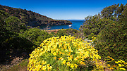 Giant Coreopsis at Pelican Bay, Santa Cruz Island, Channel Islands National Park, California USA