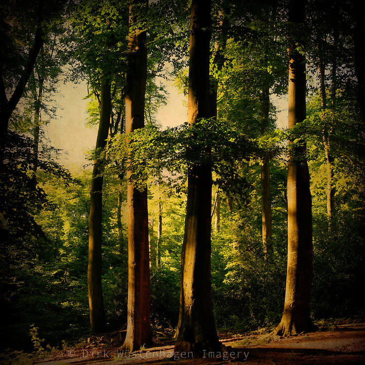 Beech tree forest in summer evenings light