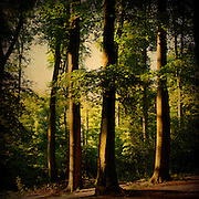 Beech tree forest in summer evenings light