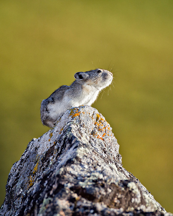 Alaska.  Collared Pika (Ochotona collaris) pausing on top of a large boulder near Hatcher Pass in August in low-angle evening light.