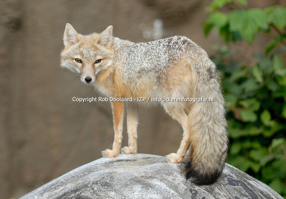 Swiftvos - Vulpes velox velox / swift fox / Swift fuchs