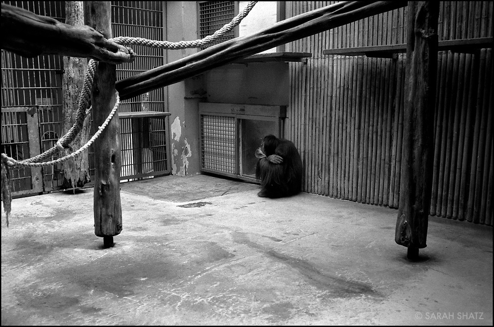Chimpanzee at the Dresden Zoo