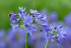 Bee on Agapanthus 'Lilliput'. African lily