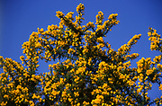 AT5BP6 Yellow common gorse flowers contrast with deep blue sky