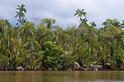 Dense and diverse vegetation along the banks of Kinabatangan River, Sabah, Borneo. Do note the nipa palms (Nypa frutians) in the foreground.