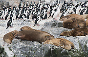 South American sea lions rest on rock next to Imperial shags on an island in Tierra del Fuego.