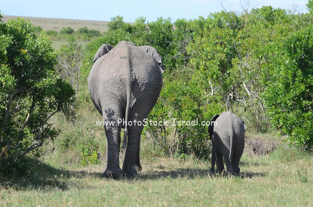 Kenya, Masai Mara, Kenya, Masai Mara, Herd of African Elephant with baby