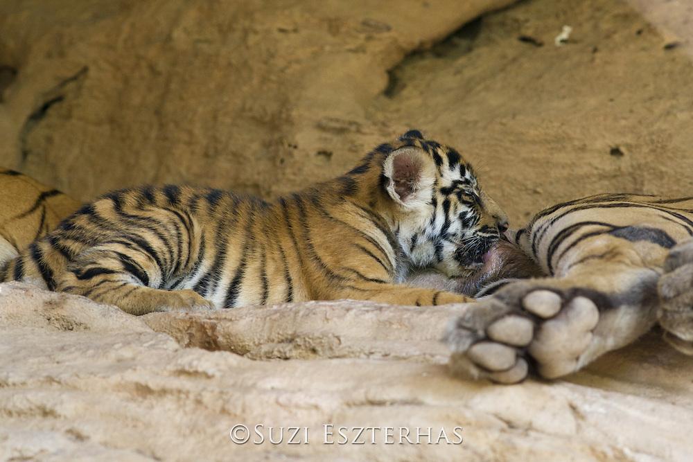 Bengal Tiger<br /> Panthera tigris <br /> 6 week old cub suckling at den<br /> Bandhavgarh National Park, India