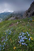 Alpine  forget-me-not; Myosotis alpestris, Augstenberg, Liechtenstein