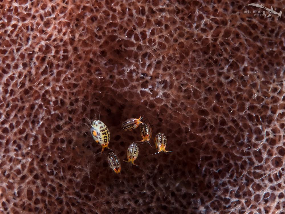 Ladybug amphipods (undescribed) on a sponge. Baleh, Komodo National Park, Indonesia.