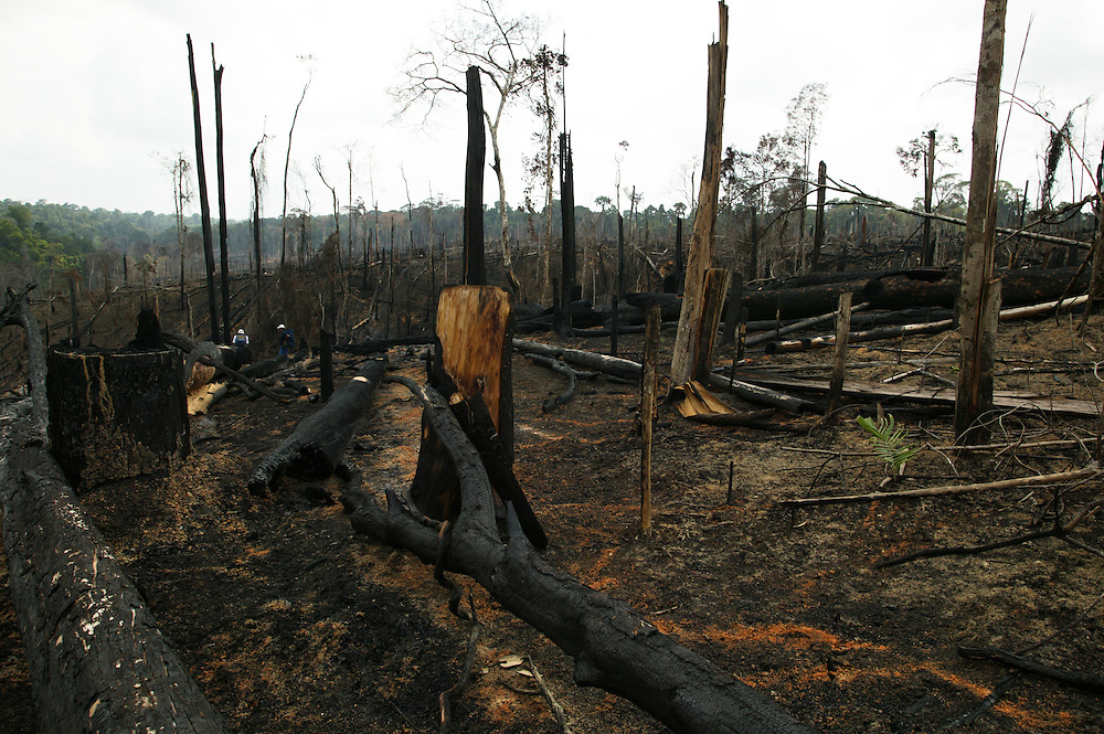 Nov. 29, 2003: Porto de Moz (Amazon, Brasil). Para State accounts for 40% of Amazon illegal logging activity and most of its production comes from illegal harvesting on public land. After extracting the most valuable species, the forest is burned to plant soy or raise cattle. ©Daniel Beltra