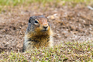 A Columbian Ground Squirrel (Urocitellus columbianus) watching from his/her burrow at Lightning Lakes in Manning Provincial Park in British Columbia, Canada.