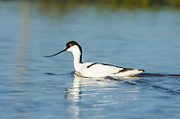 Pied Avocet swimming, Overberg, Western Cape, South Africa