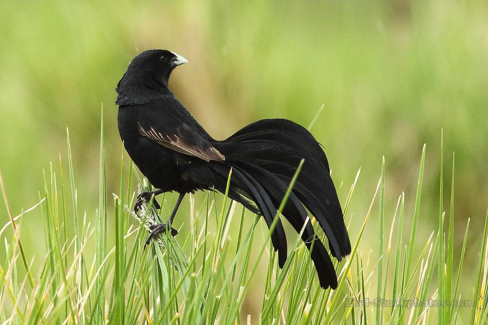 Jackson's Widowbird, Euplectes jacksoni, Tanzania, by Markus Lilje
