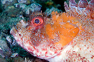 Scorpionfishes & Seamoths