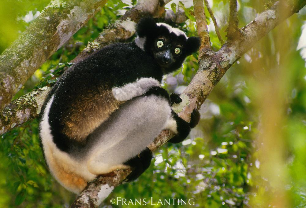 Indri, Indri indri, Andasibe, Madagascar