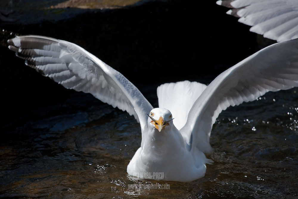 The tips of a herring's tail suggest a mustache on this gull at the Stoney Brook herring run in Brewster.