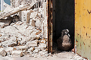 A Laysan Albatross (Phoebastria immutabilis) chick shelters from the sun in the Command/Communication and Power building that was bombed in the second World War. Approximately 10,000 chicks die each year from lead paint poisoning. Midway Atoll National Wildlife Refuge.